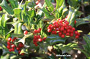 Chinese Holly